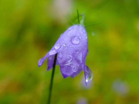 Bell flower purple with drops of morning dew in the forest. Flowering meadow in summer.