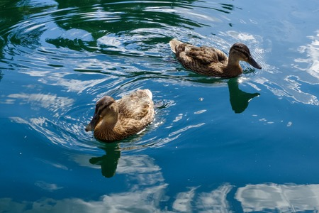 Duck family closeup, smooth water waves