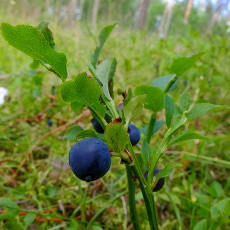 Blueberry drug on a branch.