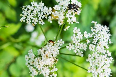 apocrita: Wasp on the flower.