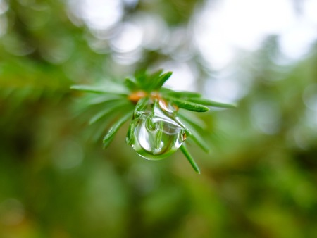 pine needles close up: Nature forest morning. Fir needles with water drops. Beautiful nature in detail.
