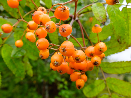 rowanberry: Useful edible berries rich in vitamins. Harvest of wild fruits. Stock Photo