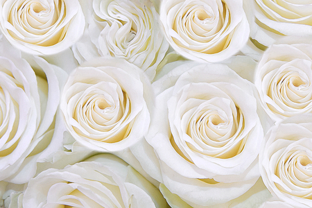 he: he texture of roses. Beautiful fragrant flowers for loved ones. Stock Photo