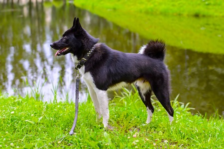 europeans: Laika dog for hunting wild fowl and animals. Exhibition Stand dogs. Beautiful dog on a walk. Stock Photo
