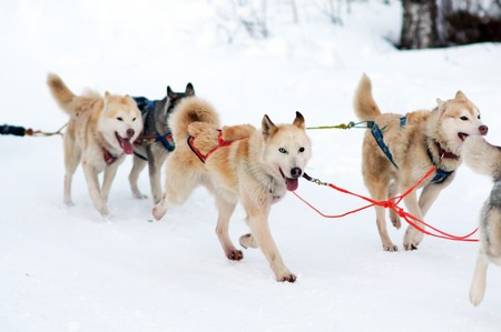 Sled Husky dogs. Working sled dog of the North. Active Husky sledding in the winter in the harnesses to drive in the snow. Archivio Fotografico - 98350333