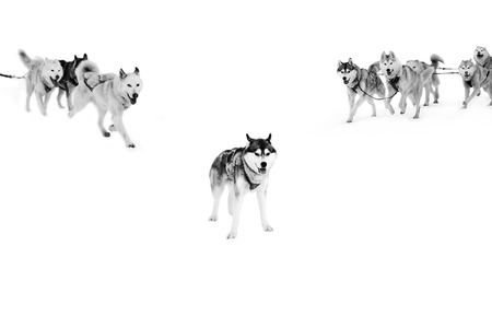 Sled dogs in harness on isolated in white. Archivio Fotografico - 98377875