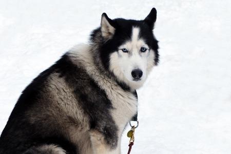 Portrait of Husky on isolated. Stock fotó
