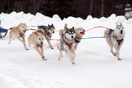 Sport team sled eager husky and malamute at finish of dog race.