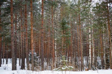 The trunks of the tall pines in fog. Zdjęcie Seryjne