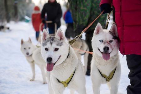 Husky sled driven sleigh.