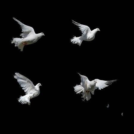 A beautiful white dove isolated on a black