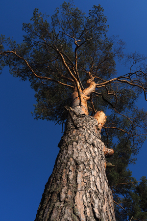 The Northern tree is mighty and tall. Nature is majestic and beautiful. Reklamní fotografie