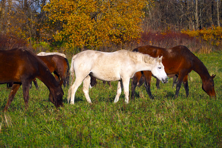 A herd of wild unattended horses grazing on a summer meadow. 版權商用圖片