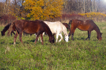 A herd of wild unattended horses grazing on a summer meadow. 写真素材 - 119869272