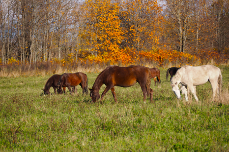 A herd of wild unattended horses grazing on a summer meadow. 写真素材 - 119869283
