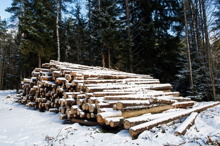 Stacks of sawn woods. Industrial logging of pine trees. Nature is used by people. Stock Photo