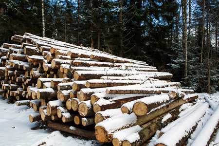 Stacked in stacks of sawn forest covered with snow. Industrial logging of pine trees. Nature is used by people.