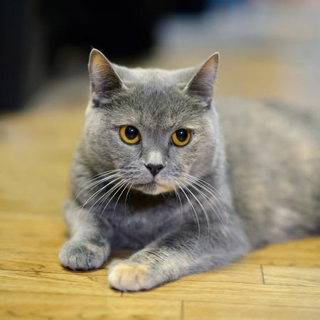 British purebred cat - Gentle home Pets.