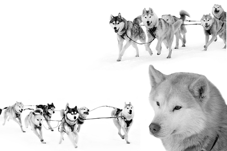 Sports sled dog race. Strong hardy Siberian dogs. Energetic Pets run and compete. Archivio Fotografico - 120203640
