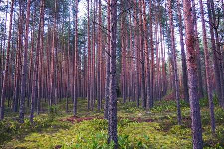 The mystical nature of the wild forest. The landscape of Northern coniferous trees with long trunks. Banque d'images