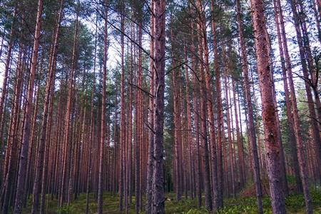 The mystical nature of the wild forest. The landscape of Northern coniferous trees with long trunks.