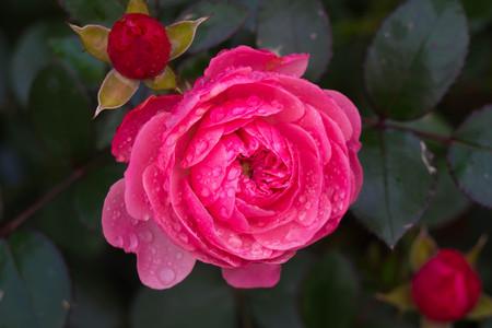 Beautiful flower after the rain flourishing close.
