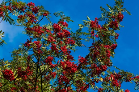 Autumn berries on the tree. Useful edible Rowan is rich in vitamins and good for health.
