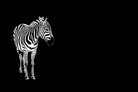 African horse Striped black and white. 版權商用圖片