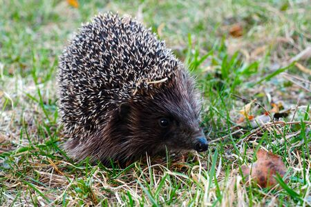 Hedgehogs are animals in their natural environment.