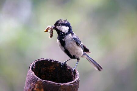 Parus major bird with a caterpillar in its beak. Wildlife maternity animals. Stockfoto