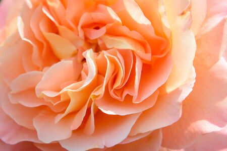 Rose petals close. Luxury flower of nature. Blooming garden flowers. Фото со стока - 147374886