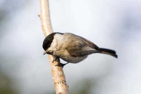 Beautiful titmouse bird - Wildlife in the winter.