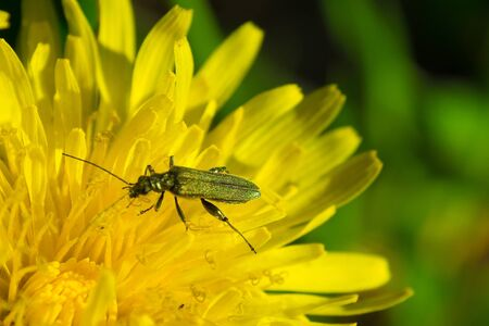 Beetle on the Inflorescence of a forest dandelion.
