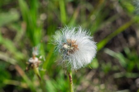 Inflorescence of a forest dandelion. 写真素材
