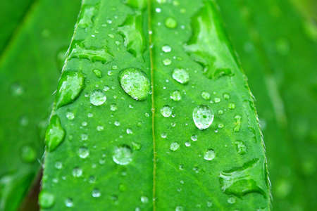 Dew of rain on a green leaf.