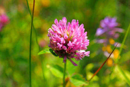 Wild Clover flower in the meadow. 写真素材