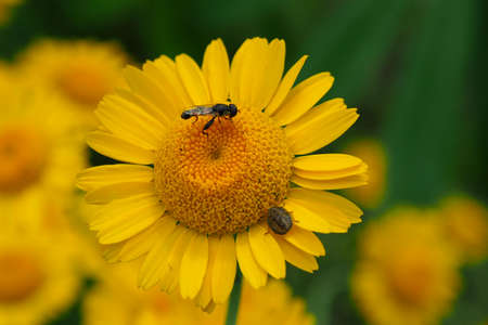 Fly collect pollen from flower.