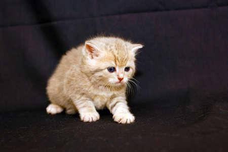 The Cat British a small baby. Reklamní fotografie