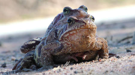 Pairing toads closely.