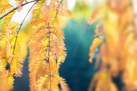 metasequoia: Autumn leaves of Metasequoia