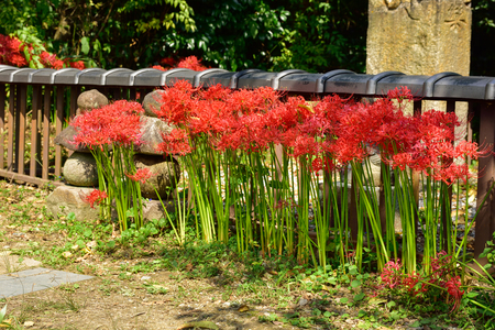 radiata: Lycoris radiata Stock Photo