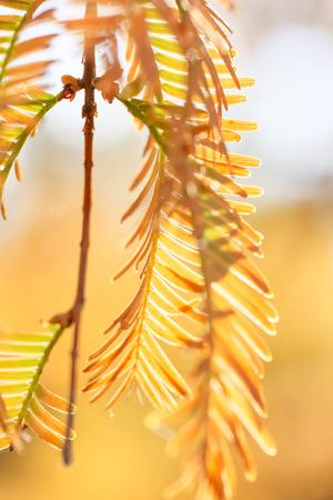 metasequoia: Autumn leaves of Metasequoia