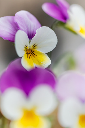 pansy: Pansy