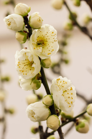 3 month: Japanese plum blossoms Stock Photo