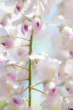 wisteria: White Wisteria