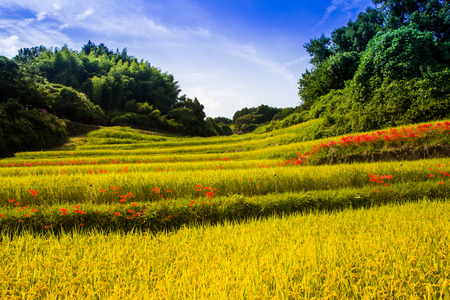 rice terraces: Rice terraces of Asuka Stock Photo