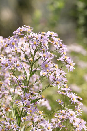 aster: Perennial aster Stock Photo