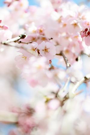 arbol de cerezo: Flores De Cerezo