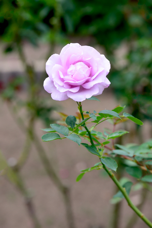 purple rose: Purple rose