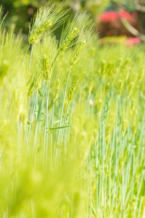 landscape mode: Fresh green wheat